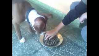 getlinkyoutube.com-PITBULL SIENDO ALIMENTADO.mp4