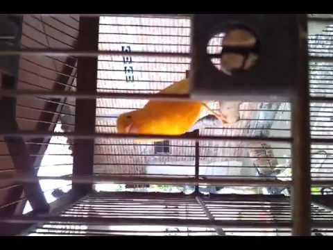 Burung Kenari, ( canary bird ) rasakan bedanya...!!!! HD
