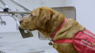 Dogs Can Smell Cancer - Secret Life of Dogs - BBC