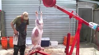 getlinkyoutube.com-Henry sheep skinning machine 3