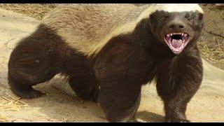 getlinkyoutube.com-الغرير (غريري) يستطيع قتل كلب حيوان قوي وجميل جدا مع جمال العمواسي