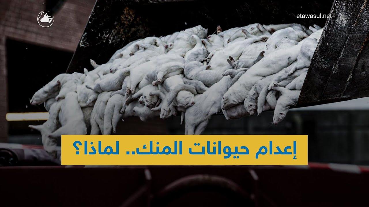 لماذا يتم إعدام حيوانات المنك؟ وهل كان القرار صائبا