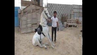getlinkyoutube.com-الحصان صخر  تم البيع الله يبارك للشاري ..