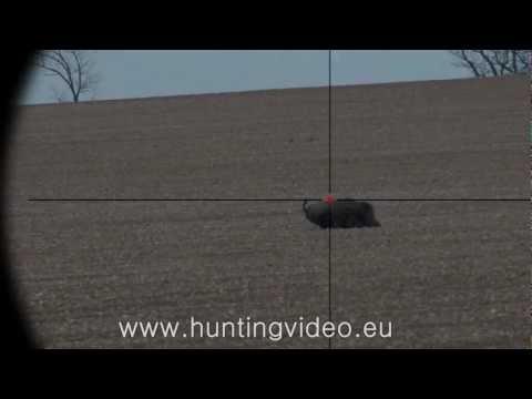 Roe Buck And Wild Boar Hunting in Hungary Tógazda Safari HD