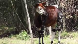 getlinkyoutube.com-World Okapi Day 2016
