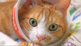 getlinkyoutube.com-猫ニキビ発見 ! 自作エリザベスカラー(赤いきつねで保護) ゴメン「マック」 - Cat scratches at a pimple formed on a chin.