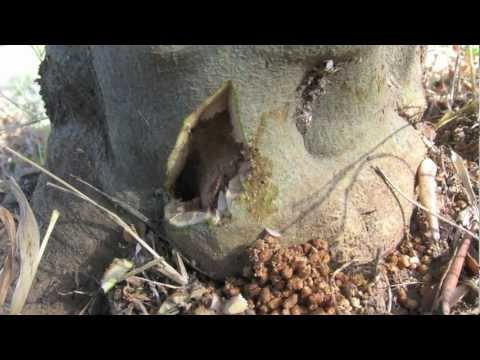 ECO FRIENDLY - REMOVING OF OLIVE TREE WORM