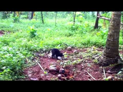 Cat Mating with Amazing Sound