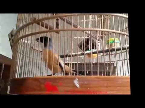 Burung Cendet super unik