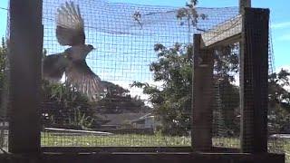 getlinkyoutube.com-Easy Bird Trap