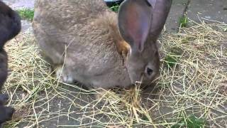 getlinkyoutube.com-Flemish Giant going Crazy over the Hay