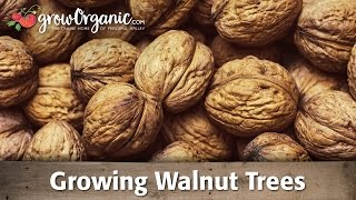 getlinkyoutube.com-Growing Walnut Trees