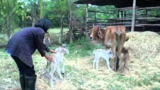 วันพ่อวัวแฝด3-วัฒนานคร.mpg