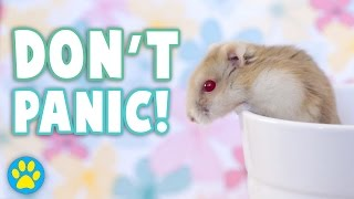 getlinkyoutube.com-What To Do If You Drop Your Hamster