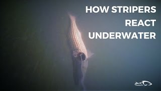 getlinkyoutube.com-How Stripers React Under Water And How To Adjust
