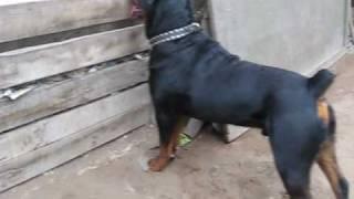 getlinkyoutube.com-Rottweiler Bronco de 1 año.wmv