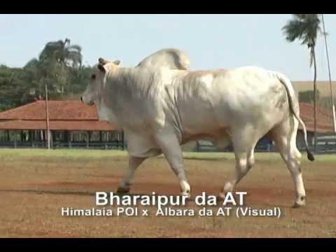 Touro nelore com sêmen disponível: Bharaipur da AT