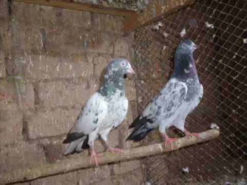 pigeons of pakistan(ustad sakhi bhatti and ustad iqtdar hussain of baharain)