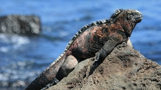 Marine Iguana-The swimming lizard