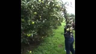 getlinkyoutube.com-Apple Picking