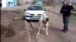 getlinkyoutube.com-turski pas Kangal,...Turkysche hund kangal...full powerrrr