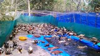 getlinkyoutube.com-Duck Farm At Cherthala