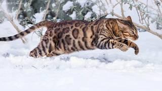 getlinkyoutube.com-10 Największych kotów domowych! :D | SpinkaFun