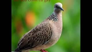 Tiếng chim cu gáy thổ đồng chuẩn
