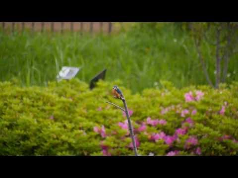 カワセミ kingfisher 3 【GH3】