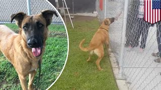 Zuzu the dog: lost German shepherd at shelter sees her family but they ask for a new dog - TomoNews