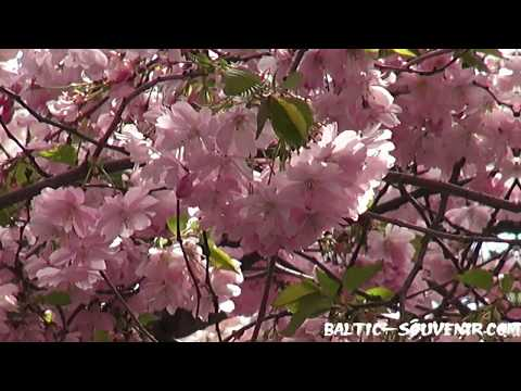 ЦВЕТЕНИЕ САКУРЫ, Стокгольм, Швеция / Blooming Sakura, Stockholm, Sweden / Sverige