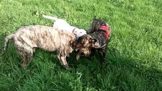 getlinkyoutube.com-Presa canario e dogo argentino vs cane corso