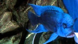 getlinkyoutube.com-Alpha Mpimbwe blue