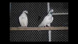 getlinkyoutube.com-Sialkoti Pigeon by Akbar Hussain part 02
