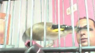 getlinkyoutube.com-طائر الحسون يغرد    بتعاوق و تزاوقchardonneret maroc 2011(part 1 / 3.flv
