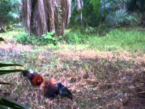 Mikat ayam hutan(batu 38)