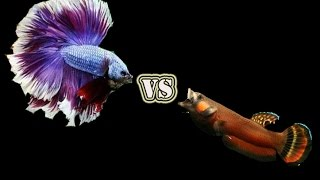 getlinkyoutube.com-Betta Salvaje vs Betta Comercial / Explicacion F0 / Calidad A