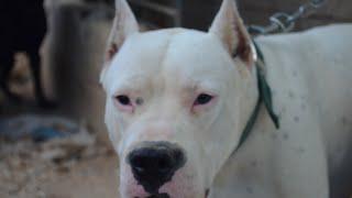 getlinkyoutube.com-كلب الدوجو الارجنتيني قابل للتدريب قوي وذكي جدا اعجبني مع جمال العمواسي