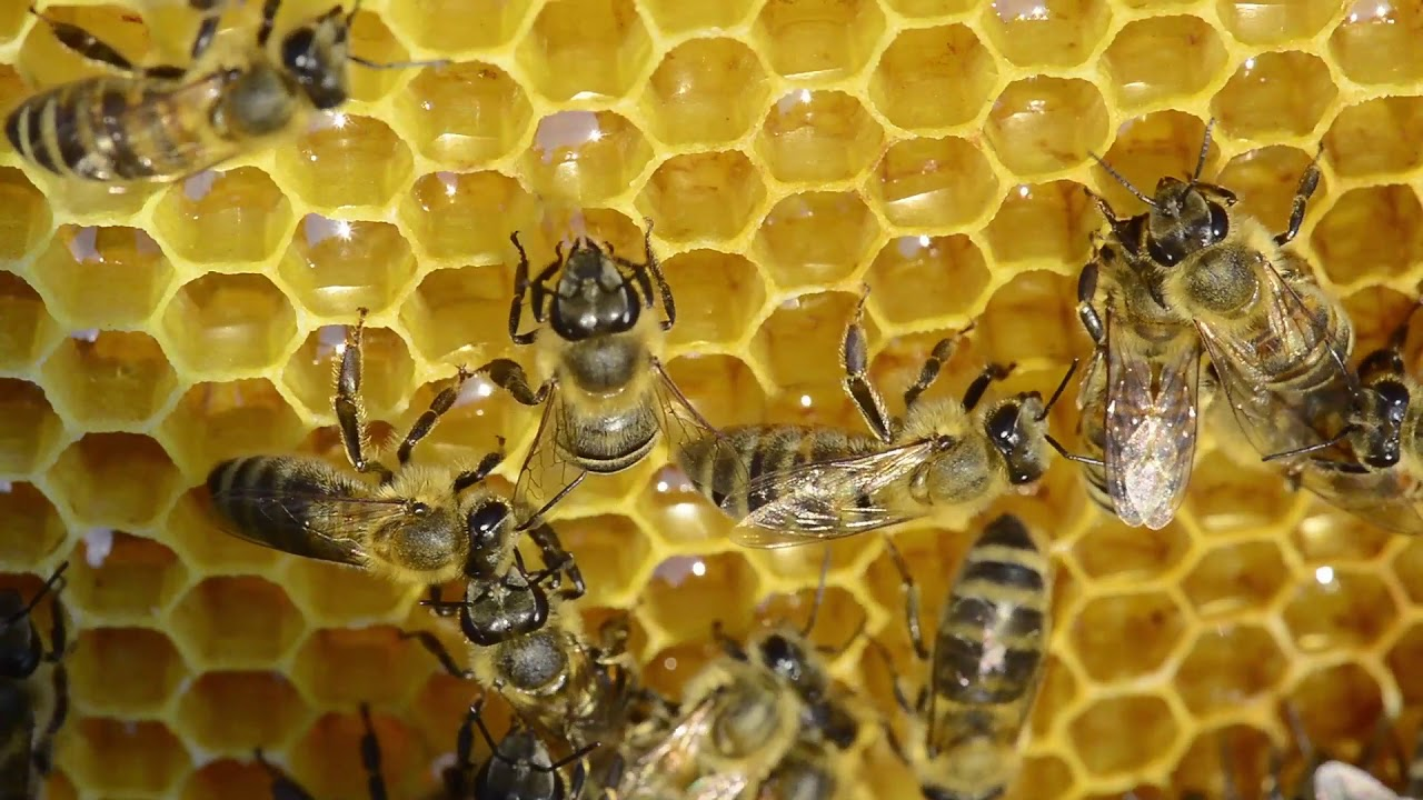 Prerada nektara u med