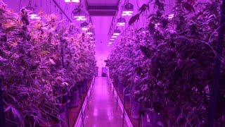 getlinkyoutube.com-LED Grow Lights Boost Cannabis Quality and Yields at Silver State Relief