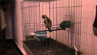 getlinkyoutube.com-chardonneret gazret servati