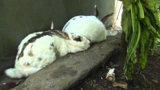 """getlinkyoutube.com-Kelinci yang """"kebelet"""" bersalin"""