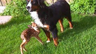 getlinkyoutube.com-Baby deer rescue and release