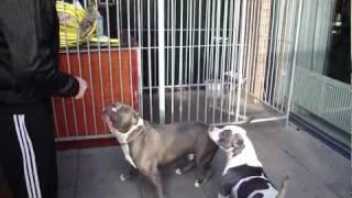 getlinkyoutube.com-american bully pitbulls tyson and chelsey playing. XXL