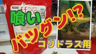 【商品紹介】コリドラス用のエサ!「ff num400」の紹介!!