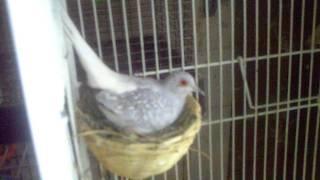 getlinkyoutube.com-Diamond Doves.