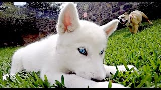 getlinkyoutube.com-LA HERMANA MAYOR (Bulldog y Husky)
