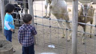 getlinkyoutube.com-Goat peeing in front of kids