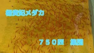 getlinkyoutube.com-楊貴妃めだか750匹 もうすぐ産卵時期に入ります木製メダカ水槽Japanese killifish