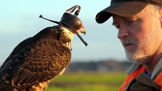 getlinkyoutube.com-Hunting with a Passage Peregrine Falcon in South Carolina